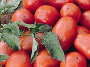 Tomate Híb. AP 529